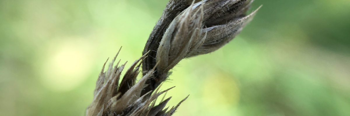 macro shot of seed heads of wild grasses