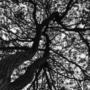 view up into the branches of dual-trunked red pine tree