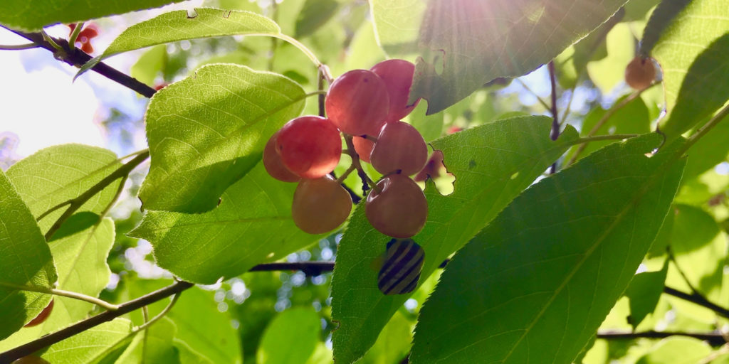 sun coming in to light up berries in London, Ontario