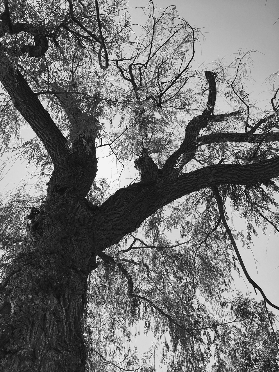 When trees speak, looking up into old willow growing at the Forks of the River, London, Ontario