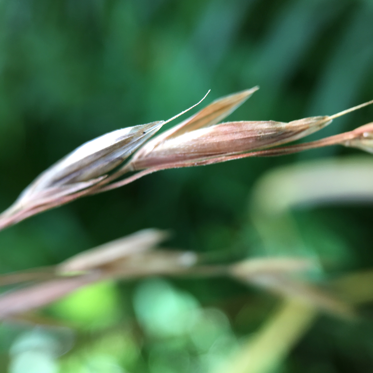 seed head of native grasses growing on the banks of the Thames River, London, Ontario