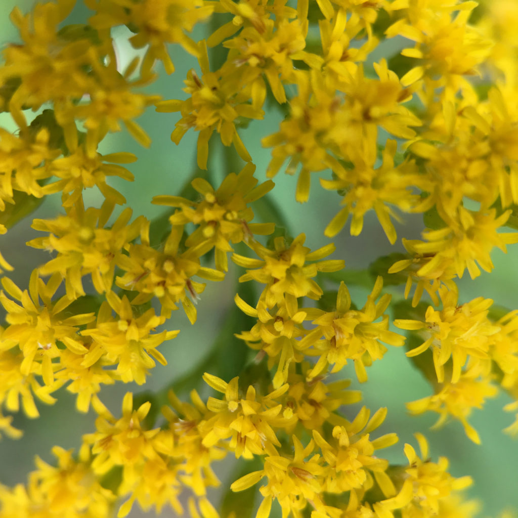 announcing international Travel for River Rivery with yellow forsythia blossoms up close in London Ontario