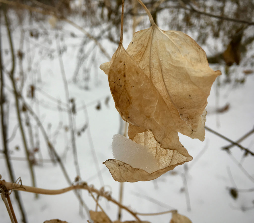 image for River Revery began, a clump of snow cradled in the curled lip of a dried leaf still clinging to the branch